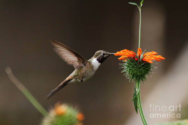 Photograph - Oasis Hummingbird Feeding by James Brunker