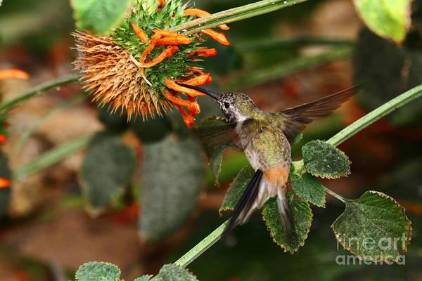 Photograph - Oasis Hummingbird by James Brunker