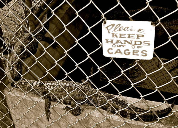 Photograph - Obedient Gator by Kim Pippinger