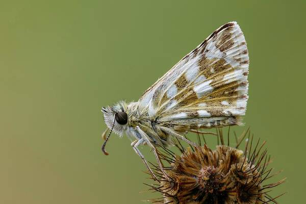 Imago Photograph - Oberthur's Grizzled Skipper by Heath Mcdonald