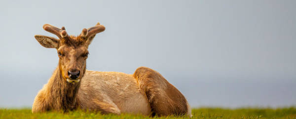 Photograph - Ocean Elk by Kevin  Dietrich