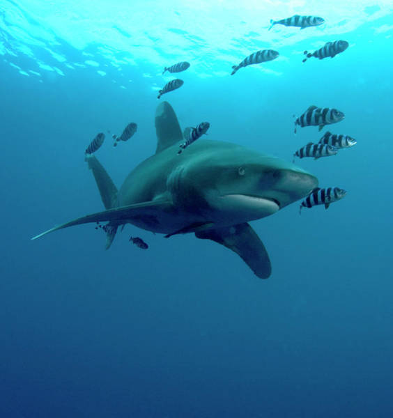 Oceanic Photograph - Oceanic Whitetip Shark And Pilot Fish by Louise Murray/science Photo Library
