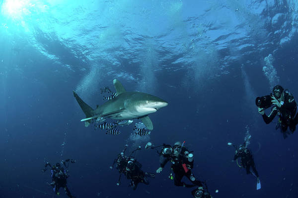 Wall Art - Photograph - Oceanic Whitetip Shark With Divers, Red by Morten Beier