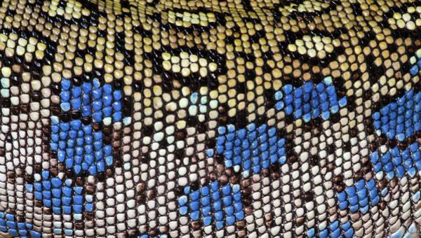 Photograph - Ocellated Lizard Skin Pattern by Nigel Downer