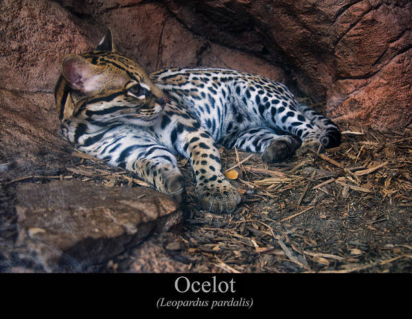 Digital Art - Ocelot by Chris Flees