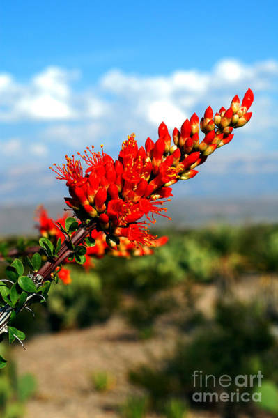Chisos Mountains Photograph - Ocotillo Flower In Big Bend, Texas by Gregory G. Dimijian, M.D.