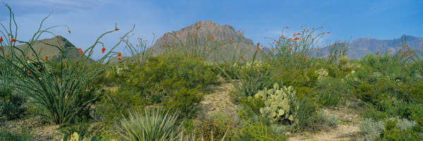 Prickly Pear Photograph - Ocotillo Plants In A Park, Big Bend by Panoramic Images
