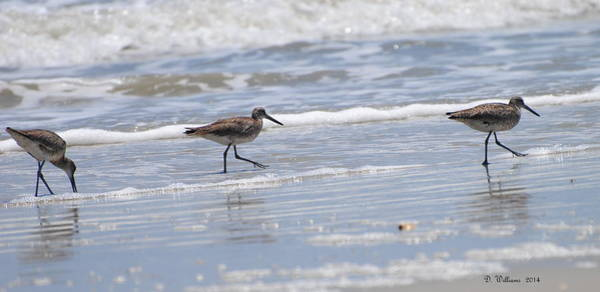 Ocracoke Shorebirds Art Print
