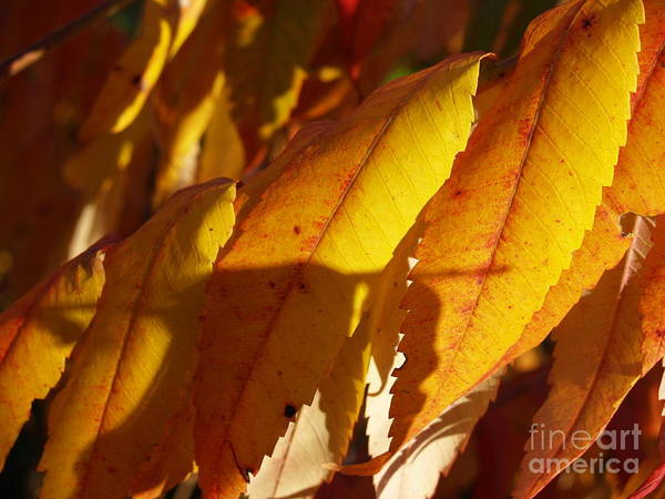 Wall Art - Photograph - October Sumac Leaves In Shadow by Anna Lisa Yoder
