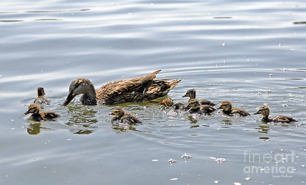 Photograph - Octomom Duck With Her Ducklings by Susan Wiedmann