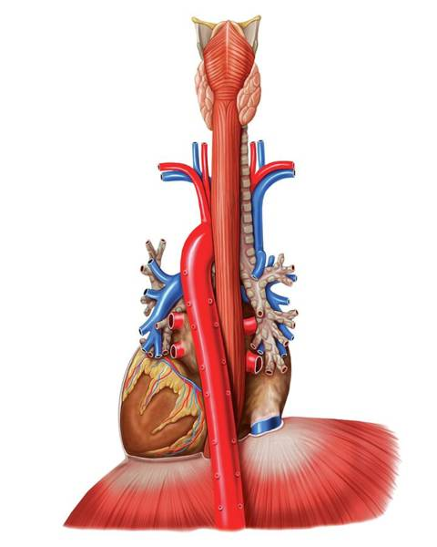 Superior Vena Cava Photograph - Oesophagus And Mediastinal Tract by Asklepios Medical Atlas