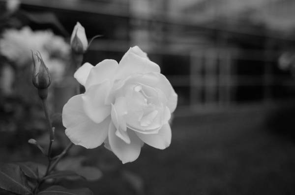 Photograph - Office Roses by Miguel Winterpacht