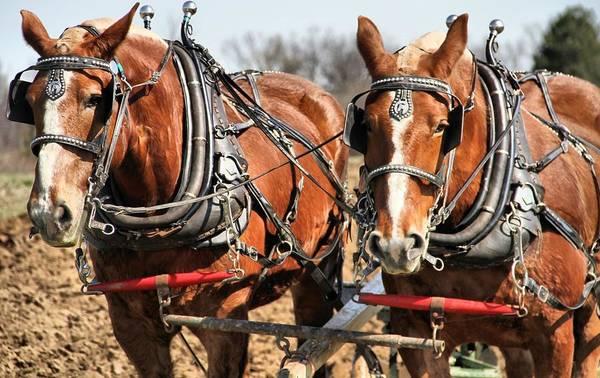 Plow Horses Photograph - Ohio Draft Horses by Dan Sproul