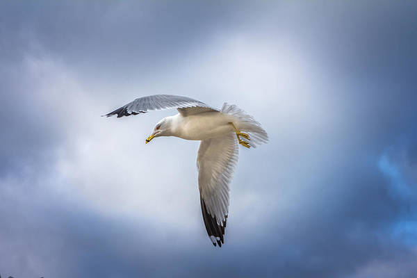 Photograph - Ohio River Seagull by Mary Almond