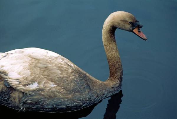 Cygnus Photograph - Oil-covered Swan by Robert Brook/science Photo Library