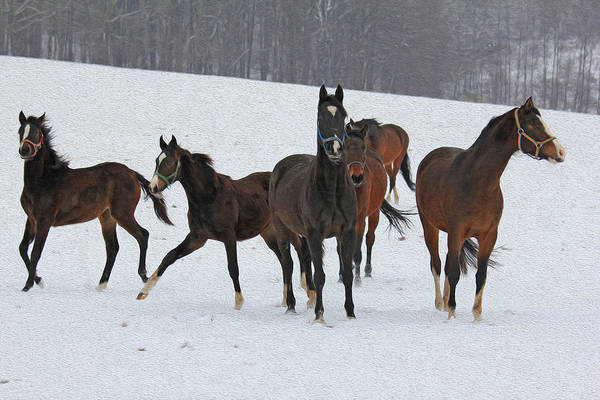 Horsemanship Painting - oil painting stylized photo of Horses dancing in the snow by G Greir