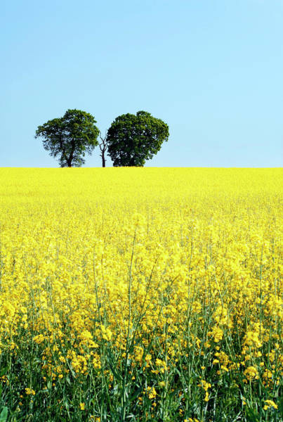 Wall Art - Photograph - Oilseed Rape (brassica Napus) by Anthony Cooper/science Photo Library