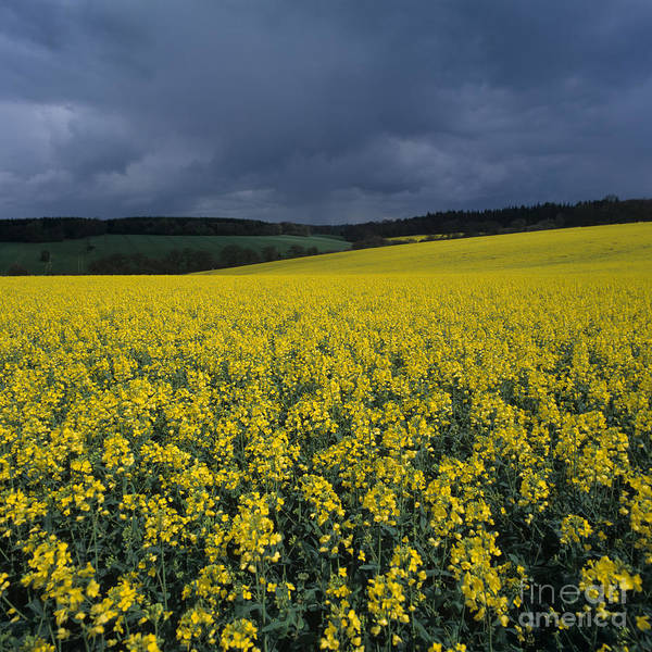 Photograph - Oilseed Rape Crop With Storm by Nigel Cattlin