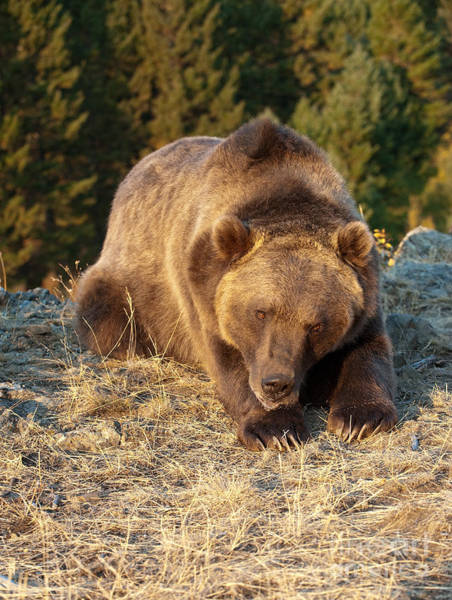 Grizzly Bears Photograph - Ok -  It's Your Trail by Sandra Bronstein