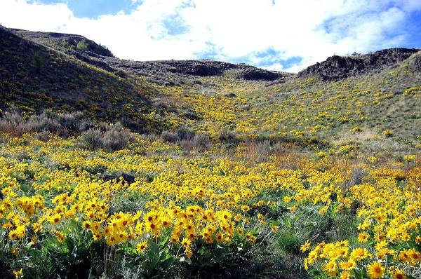 Wall Art - Photograph - Okanagan Valley Sunflowers 1 by Will Borden