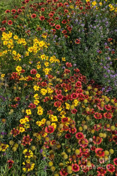 Photograph - Oklahoma Wildflowers 1 by Jim McCain