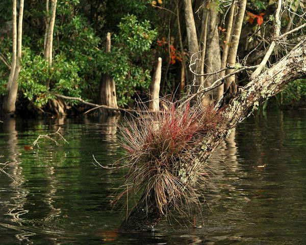 Photograph - Oklawaha River by Peg Urban