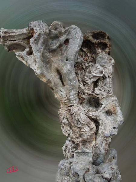 Photograph - Old Ancient Olive Tree In Its Full Glorie by Colette V Hera  Guggenheim