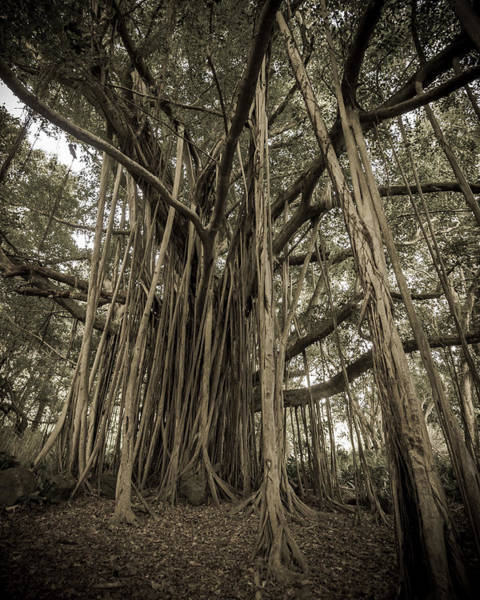 Photograph - Old Banyan Tree by Adam Romanowicz