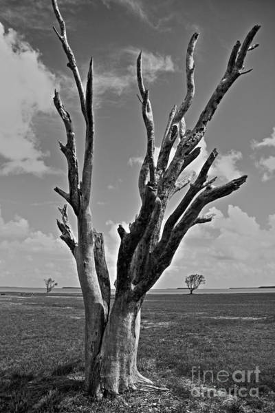 Prarie Photograph - Old Bare Tree In Everglades  by David Rucker
