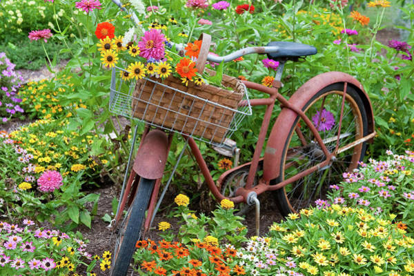 Zinnia Wall Art - Photograph - Old Bicycle With Flower Basket by Panoramic Images