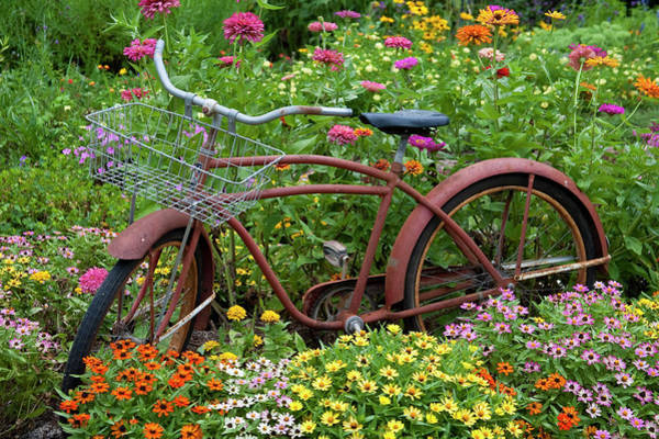 Zinnia Wall Art - Photograph - Old Bicycle With Flower Basket by Richard and Susan Day