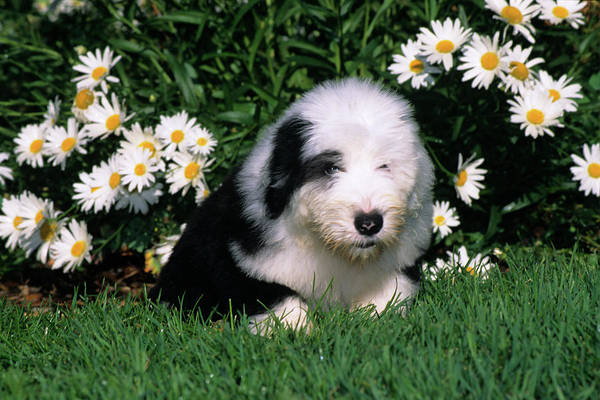 Wall Art - Photograph - Old English Sheepdog Puppy Lying by Animal Images