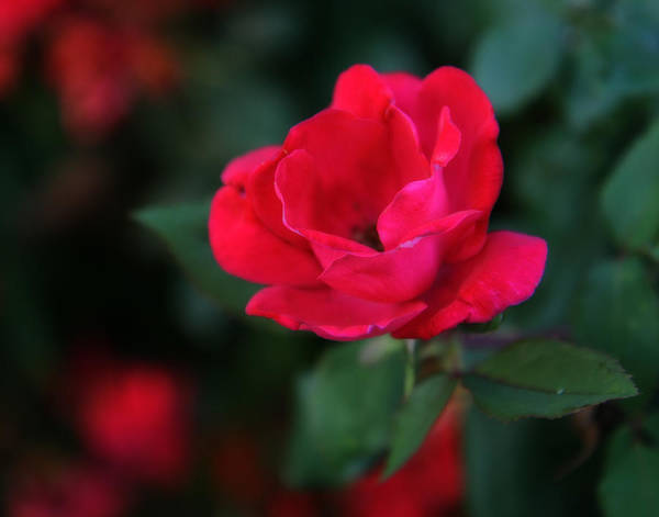 Photograph - Old Fashioned Rose by Denise Beverly