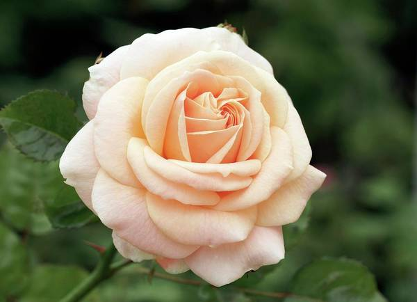 Rose In Bloom Photograph - Old Fashioned Rose (hyde Park) by Brian Gadsby/science Photo Library