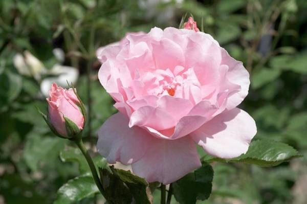 Rose In Bloom Photograph - Old Fashioned Rose (oxford) by Brian Gadsby/science Photo Library