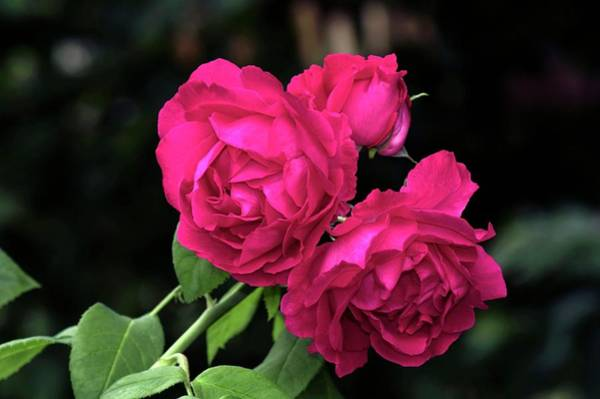 Rose In Bloom Photograph - Old Fashioned Rose (paul Neyron) by Brian Gadsby/science Photo Library