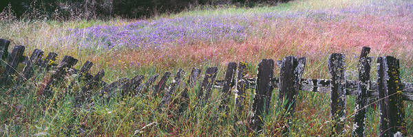 Felton Photograph - Old Fence In A Lupine Field, Quail by Panoramic Images