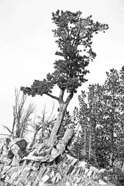 Photograph - Old Gnarly Tree by Edward Fielding