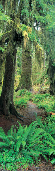 Hemlock Photograph - Old Growth Forest At Washingtons by Panoramic Images