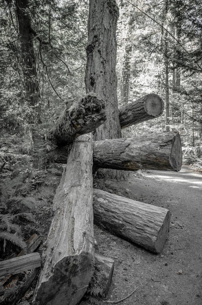 Photograph - Old Growth Forest Black And White Collection 4 by Roxy Hurtubise