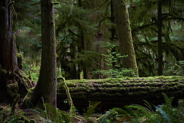 Cedar Tree Photograph - Old Growth Forest by Ian Crysler / Design Pics