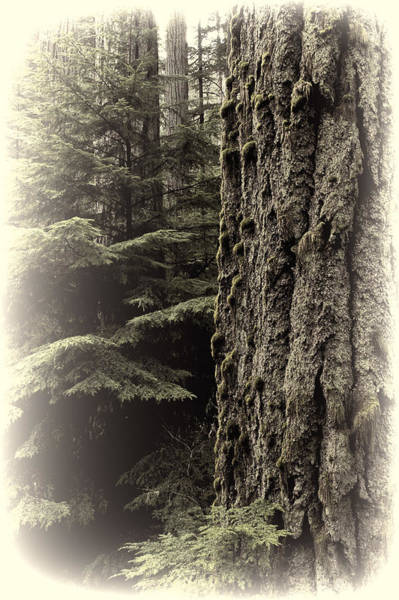 Photograph - Old Growth Forest by Randy Hall