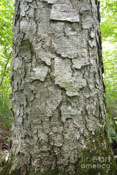 Photograph - Old Growth Yellow Birch - Harts Location New Hampshire  by Erin Paul Donovan
