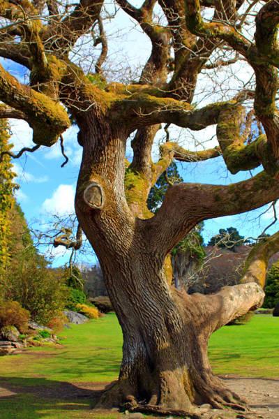 Photograph - Old Irish Tree by Jennifer Robin