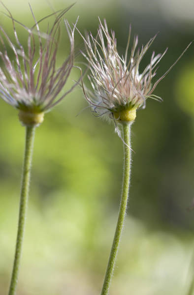 Photograph - Old Mans Whiskers Gone To Seed by Fran Riley