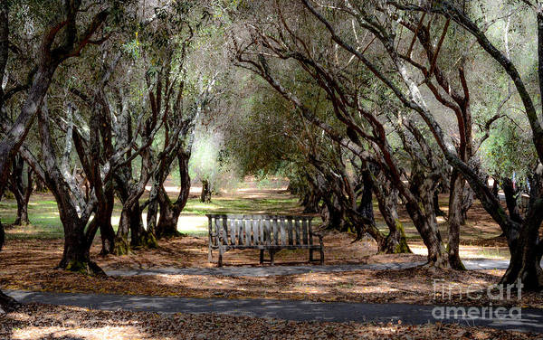 Filoli Photograph - Old Olive Orchard by Amy Fearn