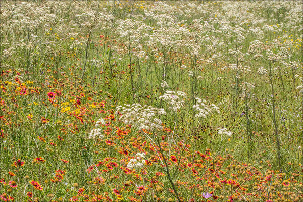 Photograph - Old Plainsman And Other Wildflowers by Steven Schwartzman
