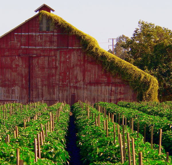Photograph - Old Red Vine Covered Barn by Jeff Lowe