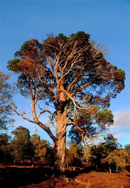Cairngorms Photograph - Old Scots Pine Tree by Duncan Shaw/science Photo Library