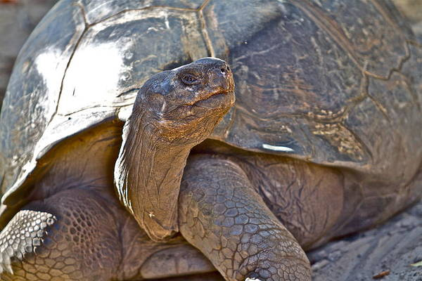 Photograph - Old Tortoise by Alice Gipson